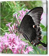 Emerald Peacock Swallowtail Butterfly #5 Canvas Print