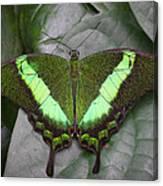 Emerald Swallowtail Buttefly Canvas Print