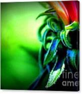 Emerging Coneflower Canvas Print