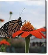 Emerging Monarch Canvas Print