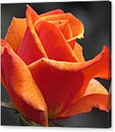 Emerging Red Rose Canvas Print