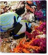 Emperor Angelfish On A Reef Canvas Print