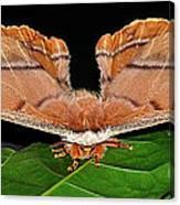 Emperor Gum Moth - 6 Inch Wing Span Canvas Print