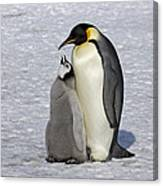 Emperor Penguin And Chick Snow Hill Isl Canvas Print