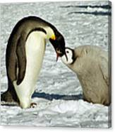Emperor Penguin Chick Feeding Canvas Print