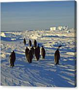 Emperor Penguin Group Walking On Ice Canvas Print