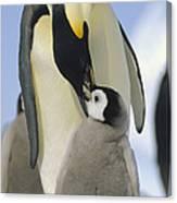 Emperor Penguin Parent Feeding Chick Canvas Print