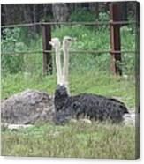 Emu Birds Canvas Print