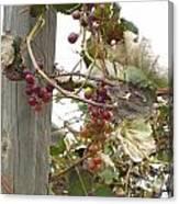 End Of Season Grapes Canvas Print