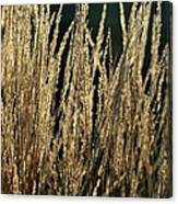 End Of Summer Grasses Canvas Print