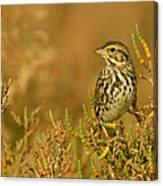 Endangered Beldings Savannah Sparrow - Huntington Beach California Canvas Print