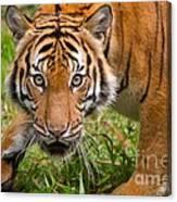 Endangered Species Sumatran Tiger Canvas Print
