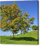 English Black Walnut Tree Switzerland Canvas Print