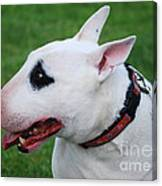 English Bull Terrier Canvas Print