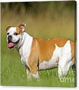 English Bulldog Canvas Print