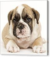 English Bulldog Puppy Canvas Print