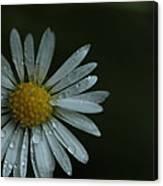 English Daisy And Rain Drops Canvas Print