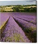English Lavender Near Alton In Hampshire Canvas Print