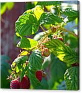 English Raspberries Canvas Print