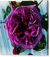 English Rose - Purple Rose - Fragrant Rose Canvas Print