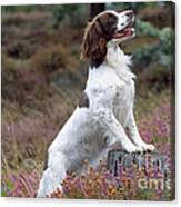 English Springer Spaniel Dog Canvas Print