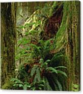 Epiphytic Sword Fern Canvas Print