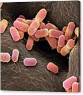 Escherichia Coli Bacteria Canvas Print