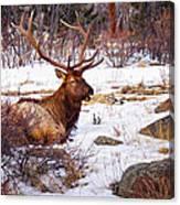 Estes Park Elk Canvas Print