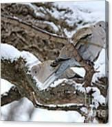 Eurasian  Collard Doves Canvas Print