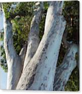 Eucalyptus Tree, California Canvas Print