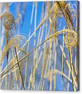 Eulalia Grass Native To East Asia Canvas Print