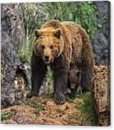 Eurasian Brown Bear 14 Canvas Print