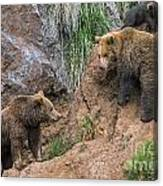 Eurasian Brown Bear 17 Canvas Print