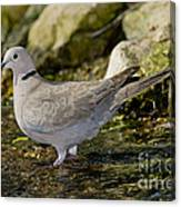 Eurasian Collared Dove Canvas Print