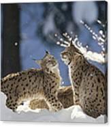 Eurasian Lynx Pair Bayerischer Wald Np Canvas Print