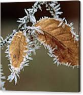 European Beech Leaves With Frost Canvas Print