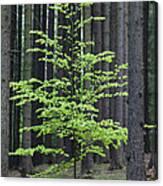 European Beech Tree In Noway Spruce Canvas Print