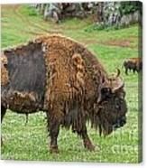 European Bison 4 Canvas Print
