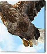 European Flying Sea Eagle 2 Canvas Print