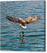 European Flying Sea Eagle 6 Canvas Print