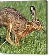 European Hare Canvas Print