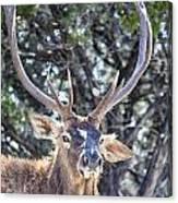 European Red Deer Canvas Print