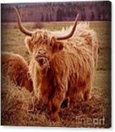 Even Cape Breton Cattle Have Character Canvas Print