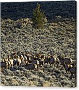 Evening Herd Of Elk   #7640 Canvas Print