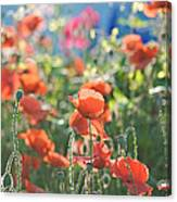 Evening Lights The Poppies Canvas Print