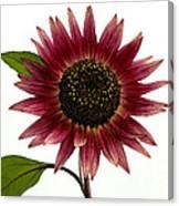 Evening Sun Sunflower 2 Canvas Print