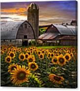 Evening Sunflowers Canvas Print