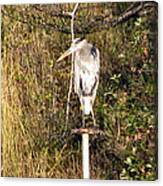 Ever Watchful Blue Heron Canvas Print