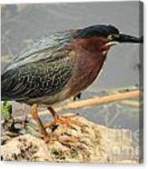 Everglades Green Heron Canvas Print