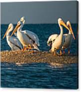 Everglades White Pelicans Canvas Print